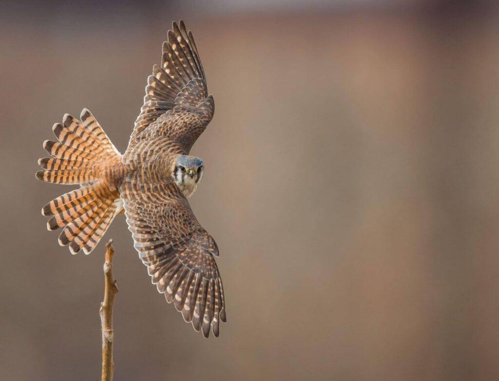 Peregrine falcon, copper brown colours, like the original Hayabusa